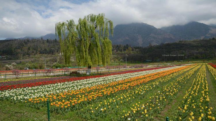 سری نگر کا 'ٹیولپ گارڈن' ۔ ایشیا میں گُلِ لالہ کا سب سے بڑا باغ