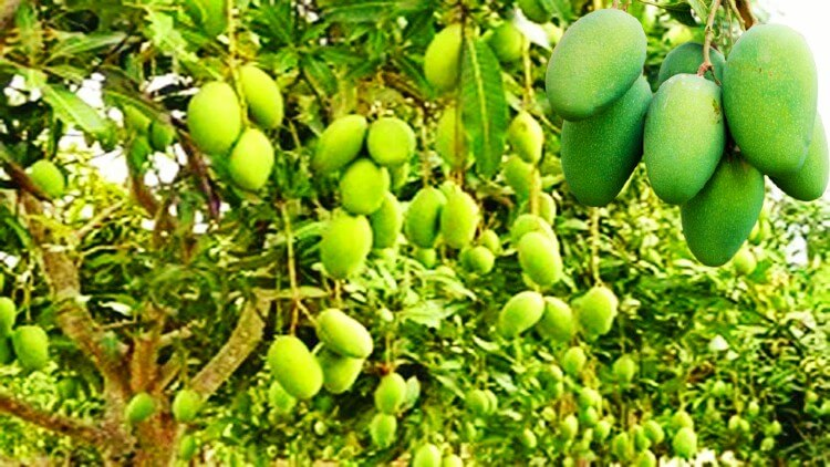 دسہری  آم  کا  درخت
